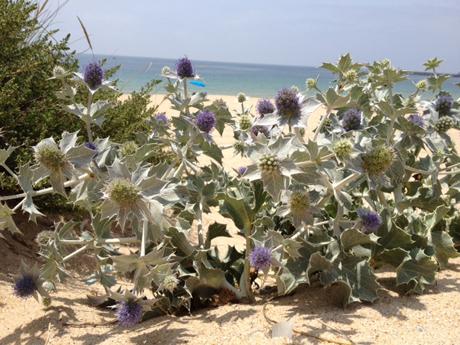 Stachelig und wunderschön: Portugal